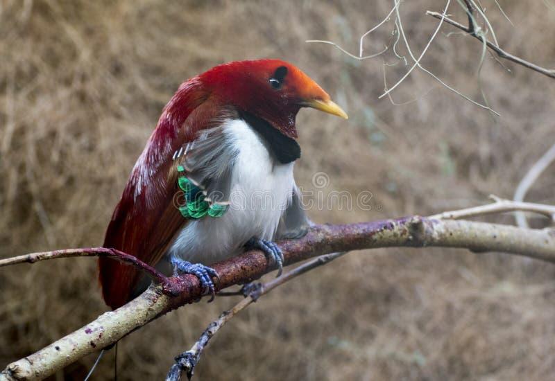Oiseau de roi du paradis images stock