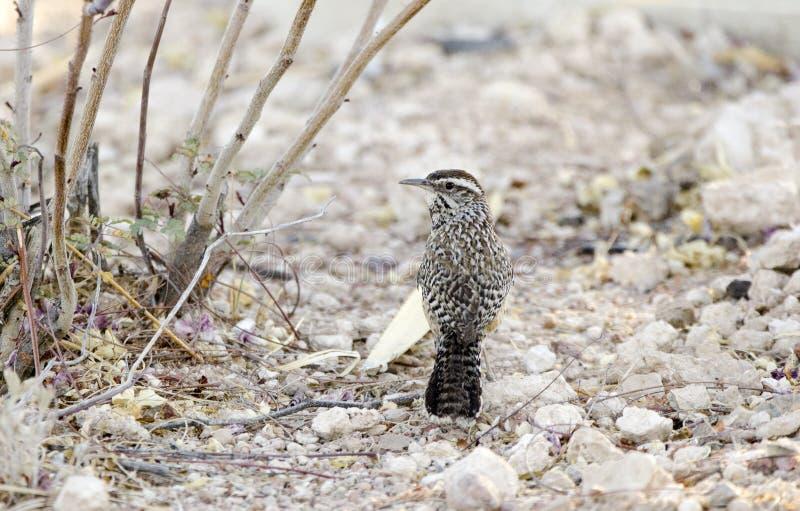 Oiseau de roitelet de cactus, désert de Sonora de Tucson Arizona photos stock