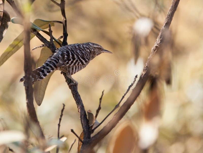 Oiseau de roitelet de Superciliated photo libre de droits