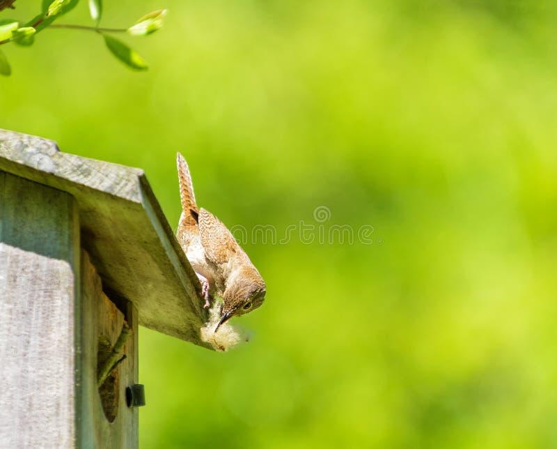Oiseau de roitelet faisant un nid photos libres de droits