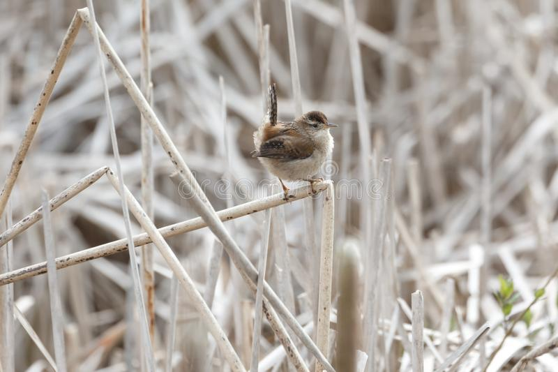 Oiseau de roitelet de marais photos stock