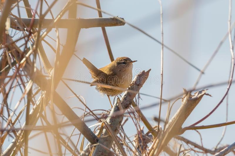 Oiseau de roitelet sur une faune de troglodytes de troglodytes de branche Roitelet eurasien images stock