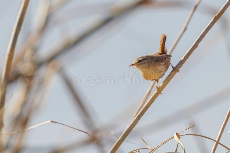 Oiseau de roitelet sur une faune de troglodytes de troglodytes de branche Roitelet eurasien images libres de droits