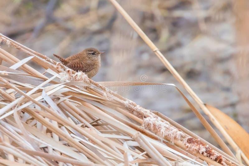 Oiseau de roitelet sur une faune de troglodytes de troglodytes de branche Roitelet eurasien photographie stock libre de droits