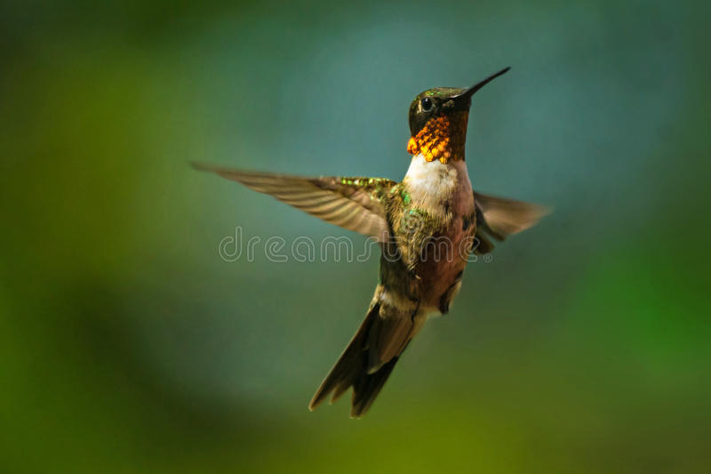 Oiseau de ronflement images stock