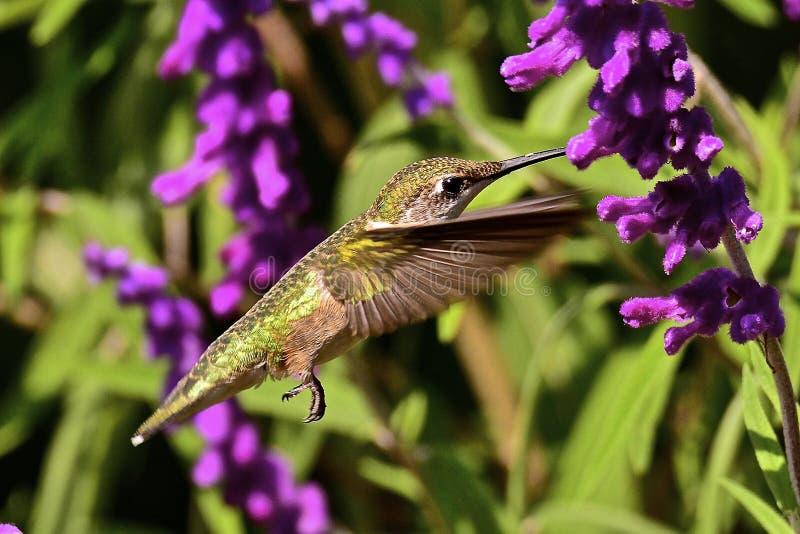 Oiseau de ronflement images libres de droits