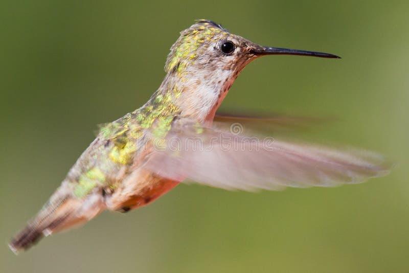 Oiseau de ronflement en vol photo stock
