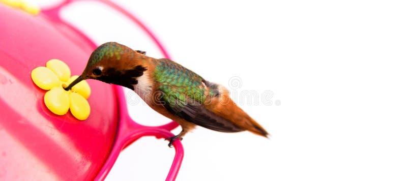 Oiseau de ronflement sur un conducteur avec un fond blanc photos libres de droits