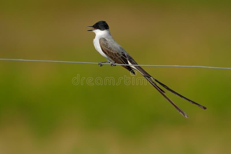 oiseau de savana Fourchette-coupé la queue de FLYCATCHER, de Tyrannus, de noir, gris et blanc avec la queue très longue, Pantanal photographie stock
