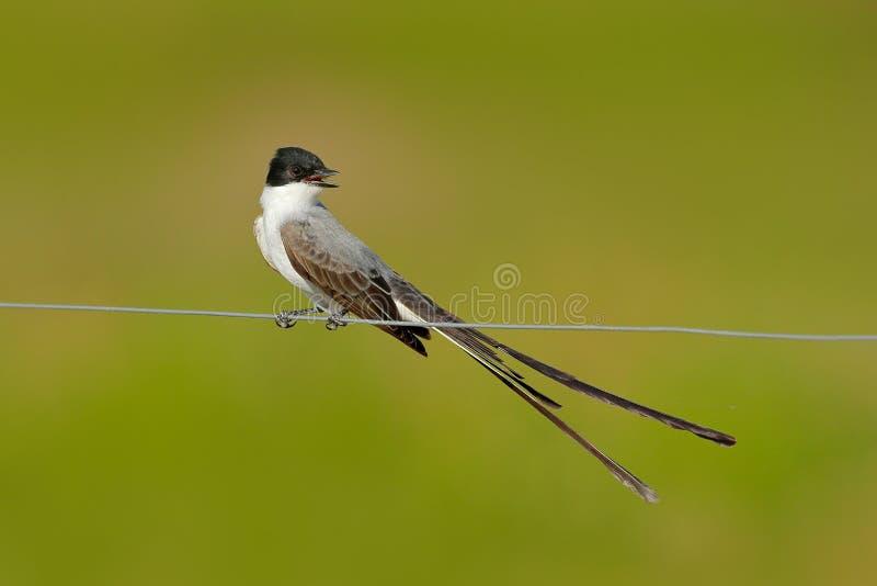 oiseau de savana Fourchette-coupé la queue de FLYCATCHER, de Tyrannus, de noir, gris et blanc avec la queue très longue, Pantanal image libre de droits