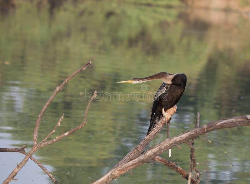 Oiseau de serpent se reposant sur la branche photo stock