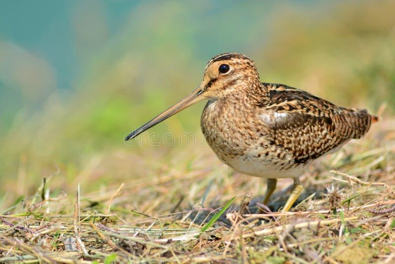 Oiseau de Snipe image libre de droits