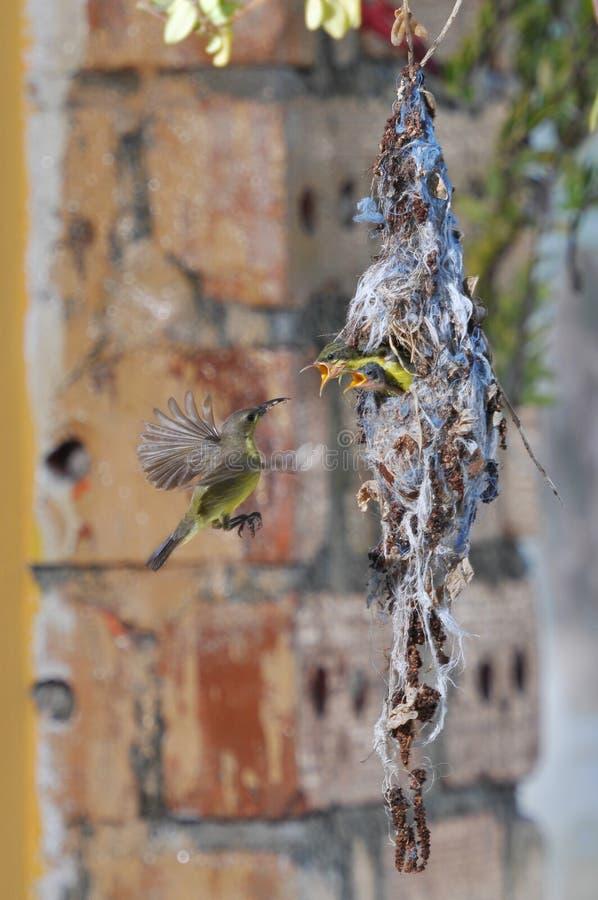 Oiseau de Sun images libres de droits