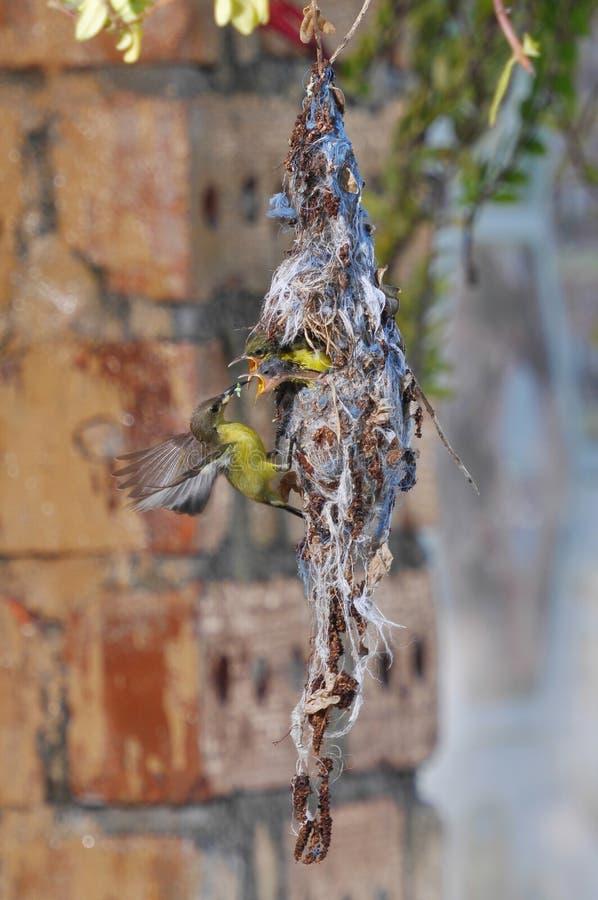 Oiseau de Sun photos libres de droits