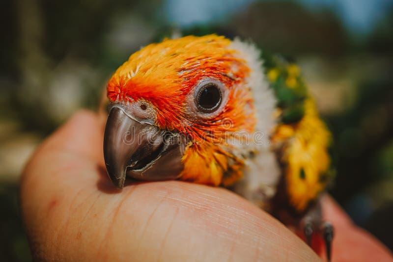 Oiseau de Sun Conure de plan rapproché photo libre de droits