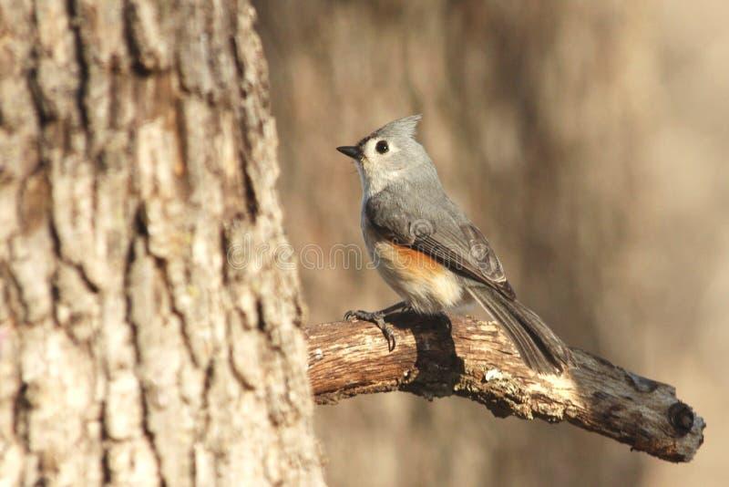 Oiseau de Titmouse tufté sur le branchement images libres de droits