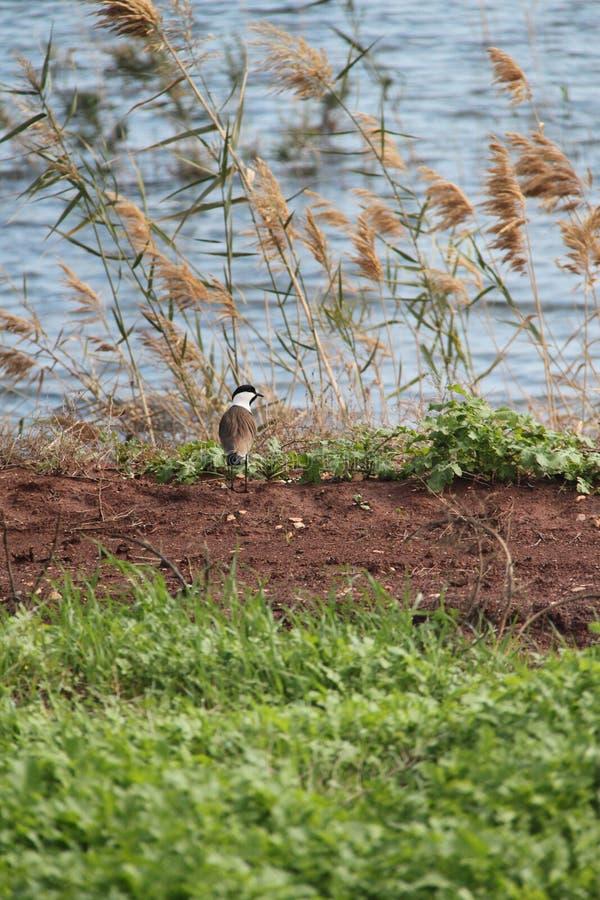 Oiseau de vanneau à ailes par dent photos stock