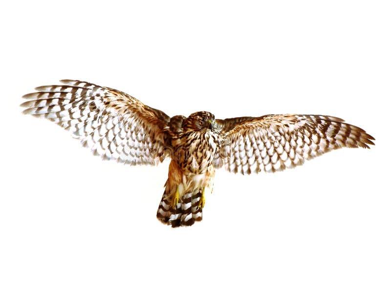 Oiseau de vol image libre de droits