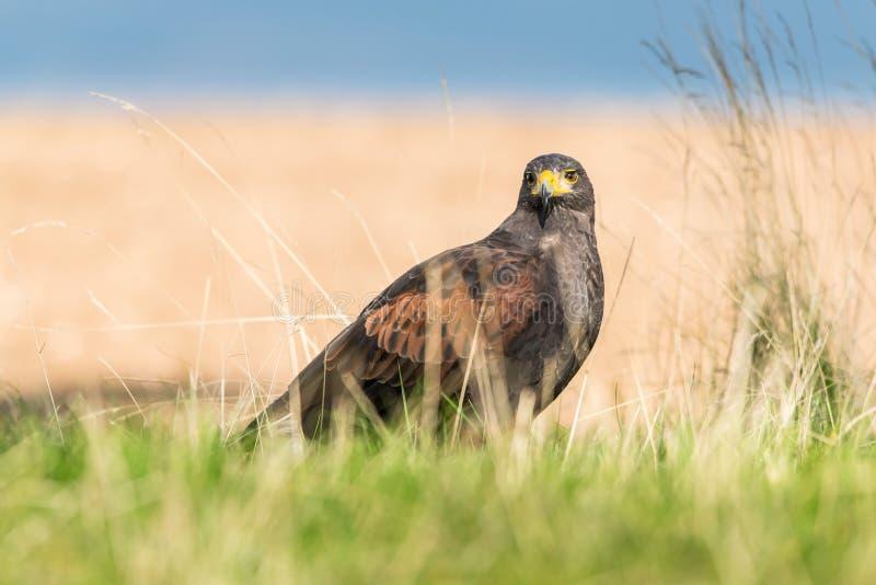 Oiseau de vue de proie direct photos stock
