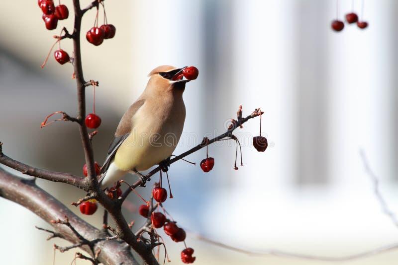 Oiseau de Waxwing de cèdre photos libres de droits