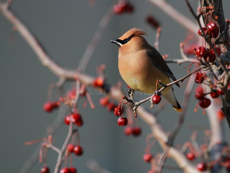 Oiseau de Waxwing de cèdre photographie stock