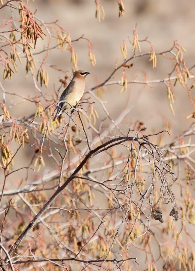 Oiseau de Waxwing de cèdre dans le feuillage d'or photographie stock