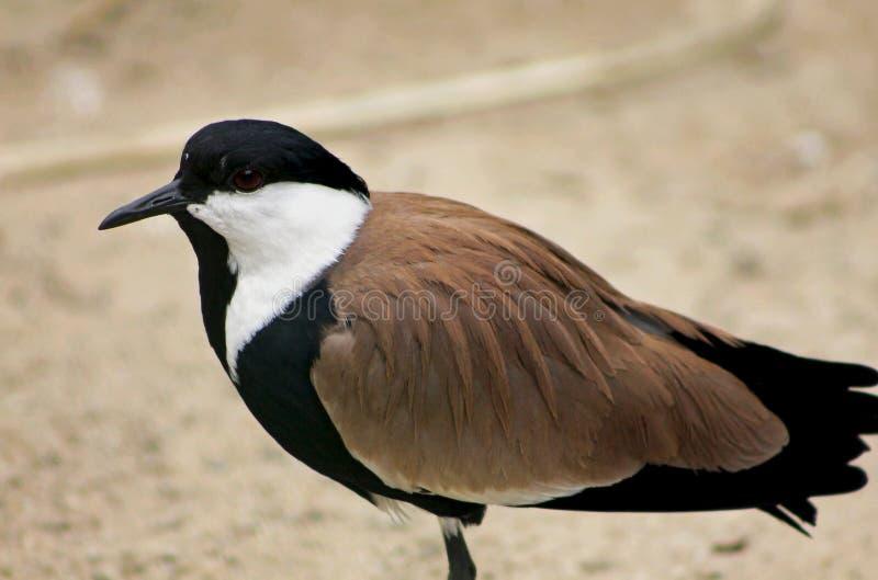 oiseau Dent-? ailes de vanneau image stock