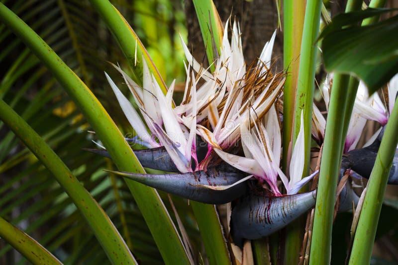 Oiseau des fleurs de paradis dans le jardin image libre de droits