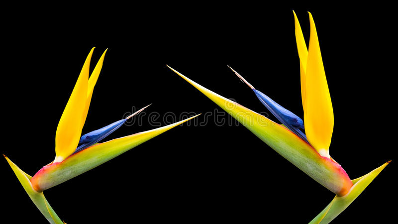 Oiseau deux des fleurs de paradis sur un fond noir 51 image stock
