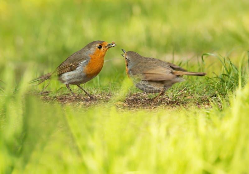 Oiseau doux et très populaire de Robin, d'A petit photographie stock