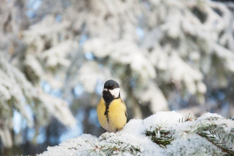 Oiseau drôle dans la neige, fond d'hiver de faune photo libre de droits
