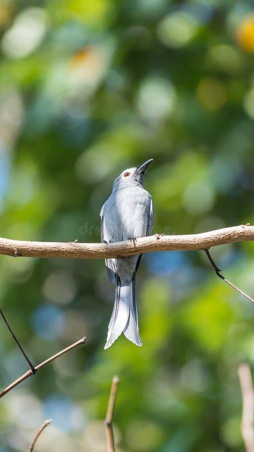 Oiseau (Drongo cendré) sur l'arbre en nature sauvage photographie stock libre de droits