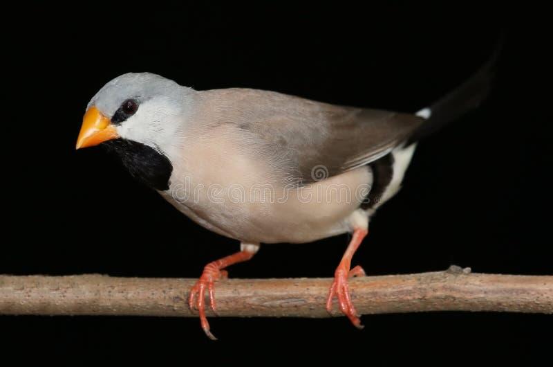 Oiseau du Grassfinch de l'estacade à claire-voie photographie stock