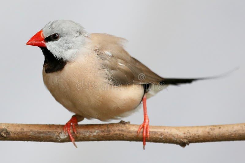 Oiseau du Grassfinch de l'estacade à claire-voie image libre de droits