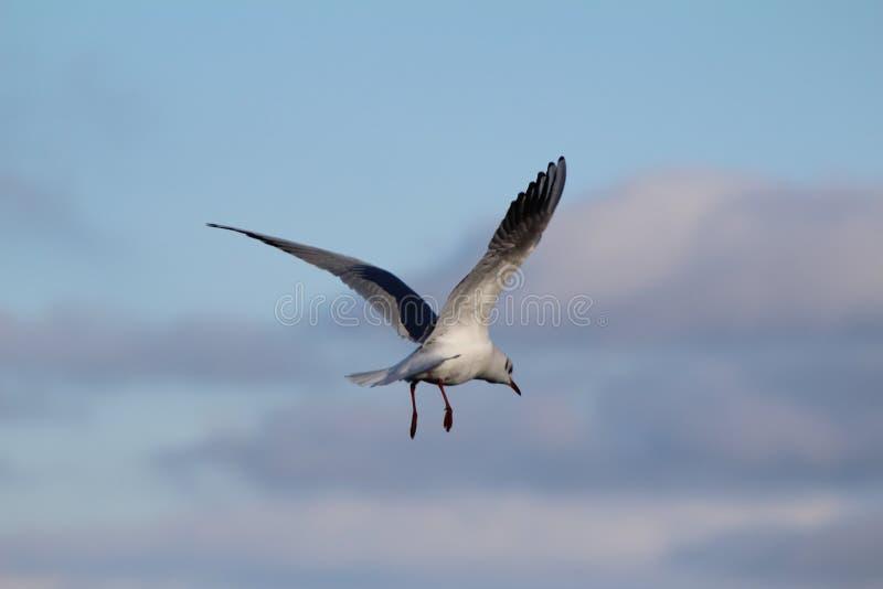 Oiseau du Lac Léman image stock