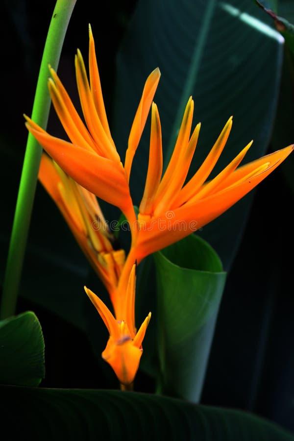 Download Oiseau du paradis photo stock. Image du jaune, couleur - 45370876