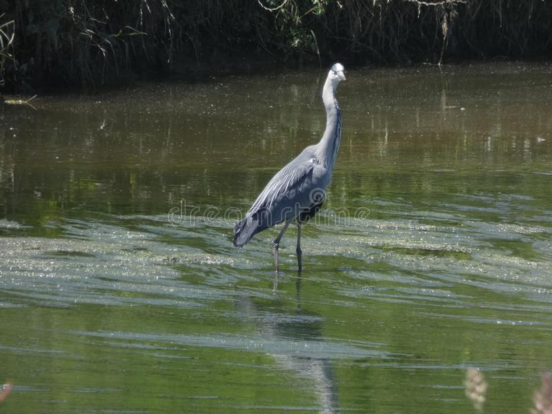 Oiseau en rivière prête pour pêcher images stock