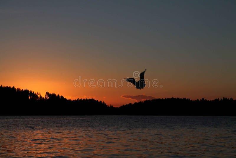 Oiseau entourant au-dessus de l'eau au coucher du soleil images libres de droits