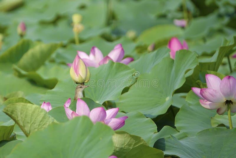Oiseau et lotus photographie stock