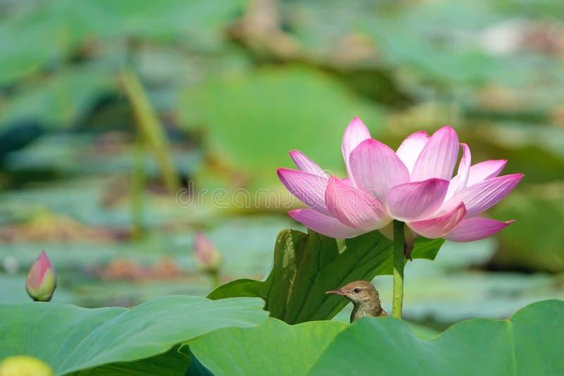 Oiseau et lotus photo stock