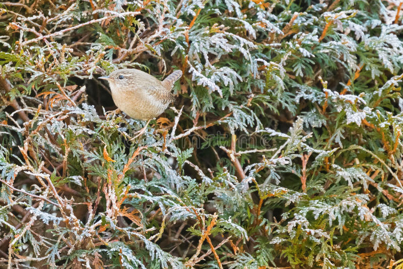Oiseau eurasien de roitelet, oiseau très petit dans être perché brun rufous dessus photos libres de droits