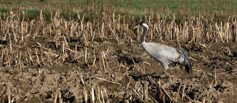 Oiseau europian gris de grue seul restant photo stock
