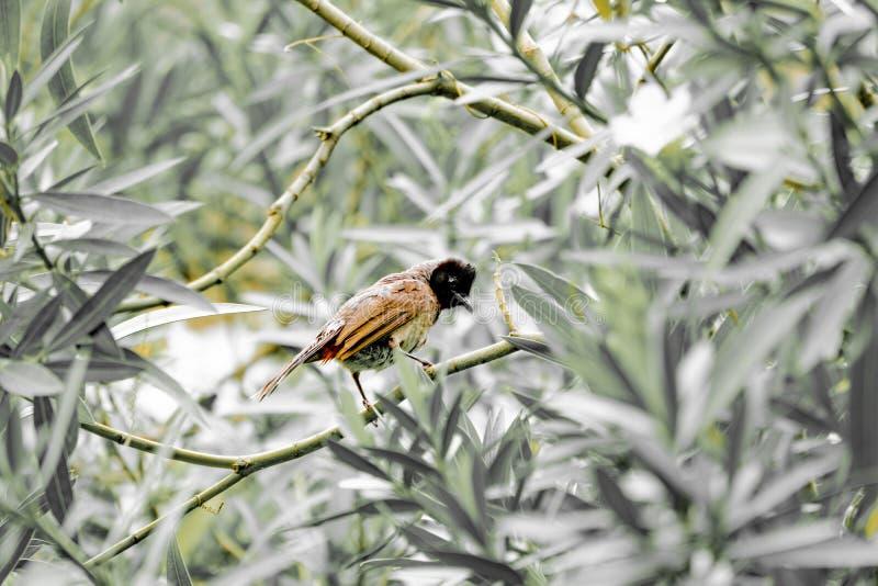 Oiseau exhalé rouge un oiseau commun de ville en Inde également connue sous le nom de bulbul photos stock