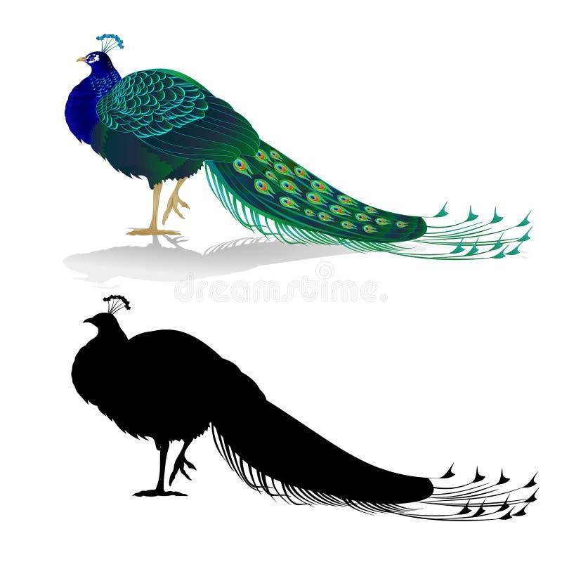 Oiseau exotique de beauté de paon naturel et silhouette sur une illustration blanche de vecteur de vintage d'aquarelle de fond ed illustration libre de droits