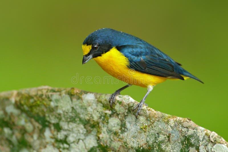 oiseau exotique Jaune-throated d'euphoniums, d'euphoniums, bleu et jaune de hirundinacea du Costa Rica Observation des oiseaux en photographie stock