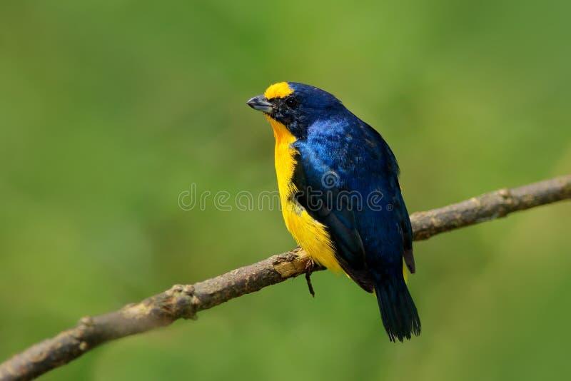 oiseau exotique Jaune-throated d'euphoniums, d'euphoniums, bleu et jaune de hirundinacea du Costa Rica Observation des oiseaux en images libres de droits