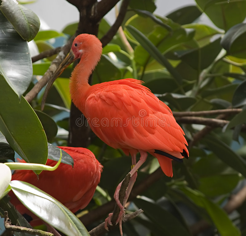 Oiseau exotique orange images stock