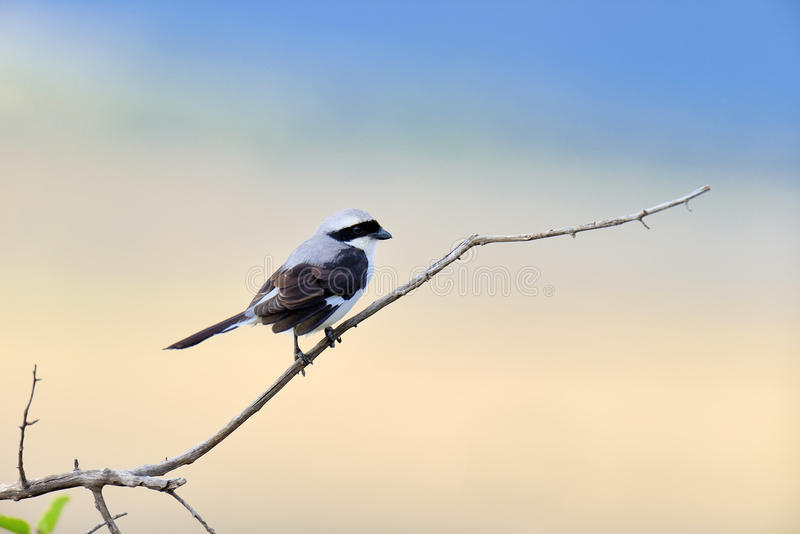 Oiseau fiscal sur une branche photo libre de droits