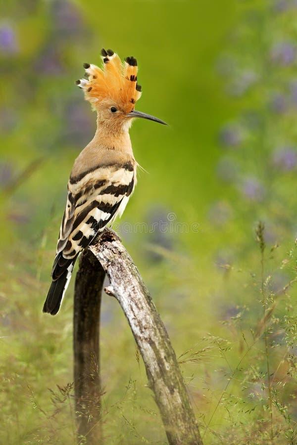 Oiseau gentil avec la huppe de crête, epops d'Upupa, se reposant en fleur violette image libre de droits