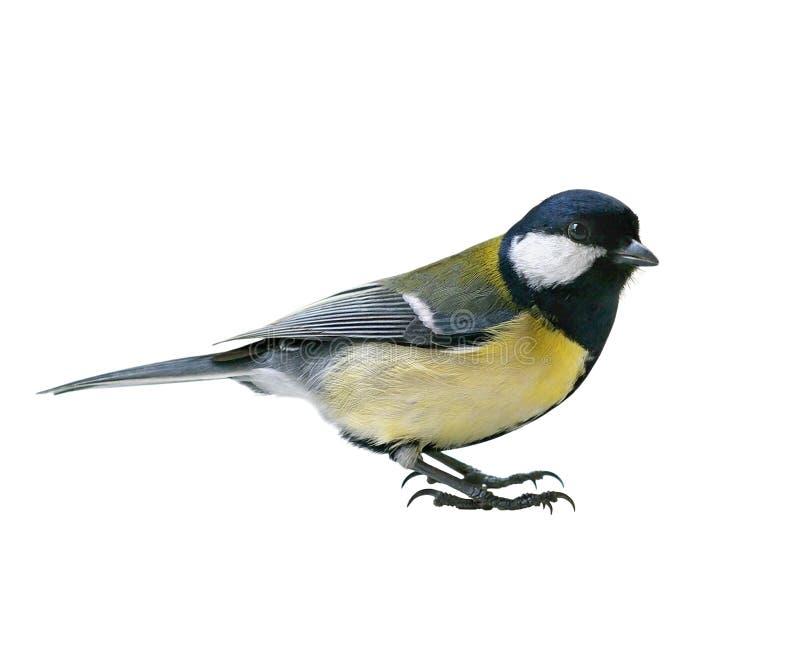 Oiseau grand de mésange photographie stock libre de droits